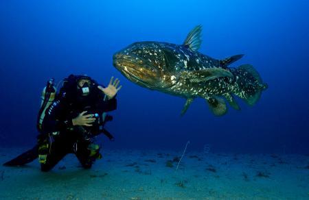 Le légendaire Coelacanthe