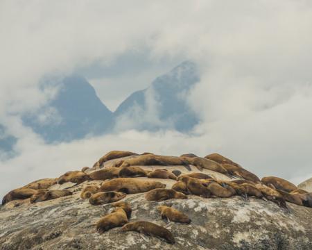 Lions de mer ©Mark Kelley
